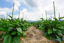 Cultivation Of The Eggplant