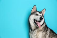 Cute Alaskan Malamute Dog On Color Background
