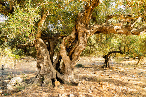 alter Olivenbaum (Olea europaea)