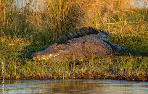 Door stickers Crocodile Süsswasser-Krokodil