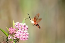 Hummingbird Moth Searching For Nectar