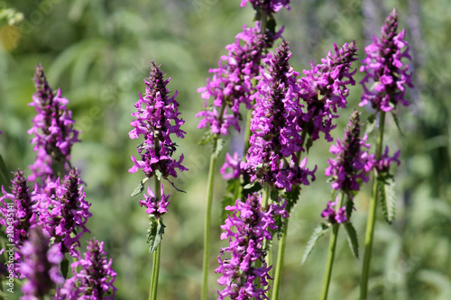 Photo Flowers of Stachys officinalis or purple betony