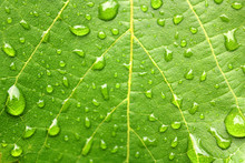 Rain Drops On The Leaf In The Rainy Weather (close Up)
