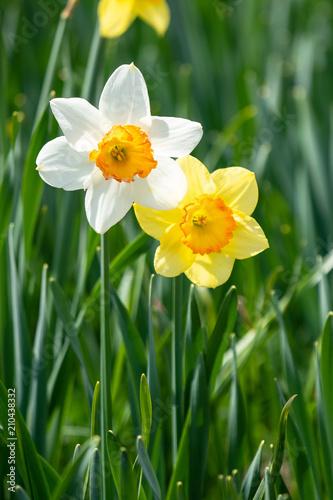 Papiers peints Narcisse 白と黄色のスイセン