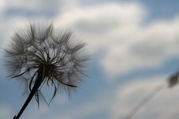 rozogniskowanie. kwiat mniszka lekarskiego na tle błękitnego nieba