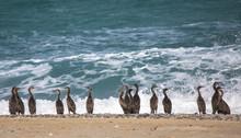 Endangered Socotra Cormorant Birds On A Beach In Musandam