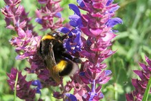 Bumblebee On Salvia Pratensis Flowers