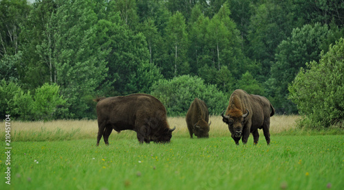 Photo Three aurochs -zubr - on field in Polish region Bialowieza