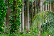 Palm Tree Nursery, Dense Fores...