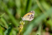 Dainty Sulphur (Nathalis Iole) Butterfly, Small, Closeup - Pembroke Pines, Florida, USA