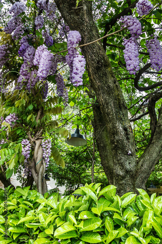 Acacia Purple Flowers On The Tree Buy This Stock Photo And Explore