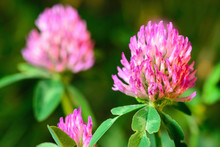 Blooming Clover