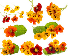 Nasturtium Flowers (Tropaeolum) Collection Isolated On A White Background