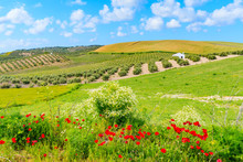 Red Poppy Flowers In Andalusia Countryside Landscape, Olive Groves With Wheat Fields And Beautiful Sunny Sky With White Clouds, Spain
