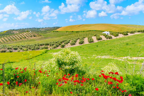 Red poppy flowers in Andalusia countryside landscape, olive groves with wheat fi Tapéta, Fotótapéta
