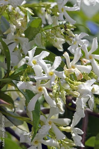 Blüten des Sternjasmin (Trachelospermum jasminoides) - Chinesischer Sternjasmin Wallpaper Mural