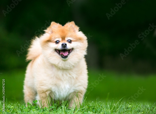 Photo  A cute Pomeranian dog with a happy expression