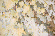 The Close-up Of The Bark Of A Plane Tree, Platanus Acerifolia.Сamouflage Pattern