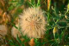Meadow Salsify (tragopogon Pratensis) The Summer Picture, White Dandelion Against The Background Of A Green Grass,