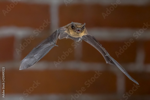 Flying Pipistrelle bat in urban setting