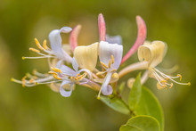 Perfoliate Honeysuckle Close Up
