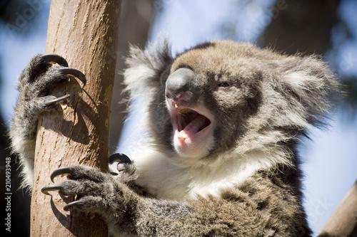 Garden Poster Koala A Koala Bear Yawning