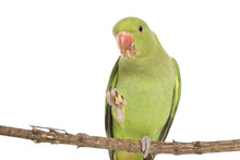 An Indian Ringneck Parakeet Eating And Isolated On White.