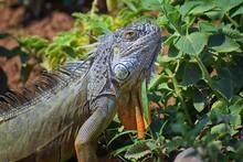 Wild Iguana Eating Plant Leave...