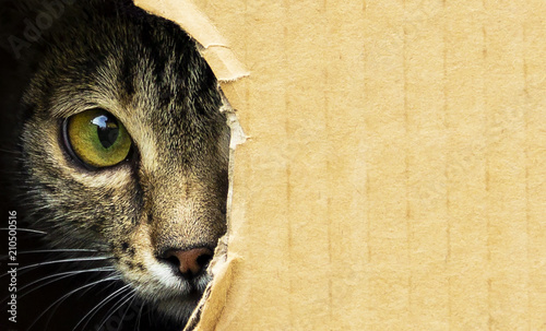 Photo sur Toile Croquis dessinés à la main des animaux cat curiously looks out from a dark hole in a cardboard box, photo with an open background.
