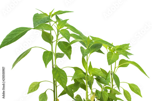 Fototapety, obrazy: green plant from a pot with ground on a white background