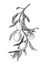 Olives Branch Illustration Bla...
