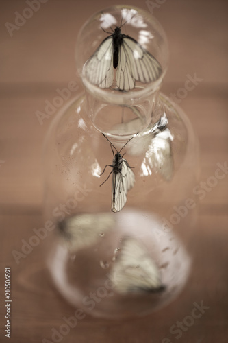 Foto op Aluminium Olifant butterflies caught in a jar . white butterfly sitting in the Bank, a symbol of the imprisonment of the living.