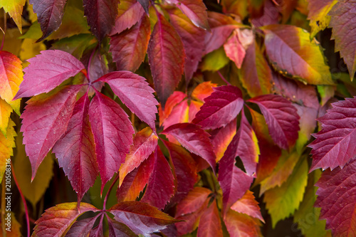 Stampa su Tela Leaves of wild grapes. Background of red leaves in autumn
