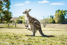 Kangaroo With Joey In Country ...