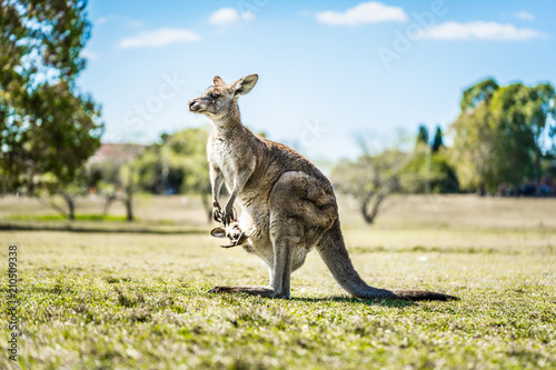 Foto op Canvas Kangoeroe Kangaroo with joey in country Australia - capturing the natural Australian wildlife marsupial kangaroos.