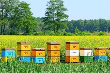 Beautiful Colorful Hives In The Rape Field