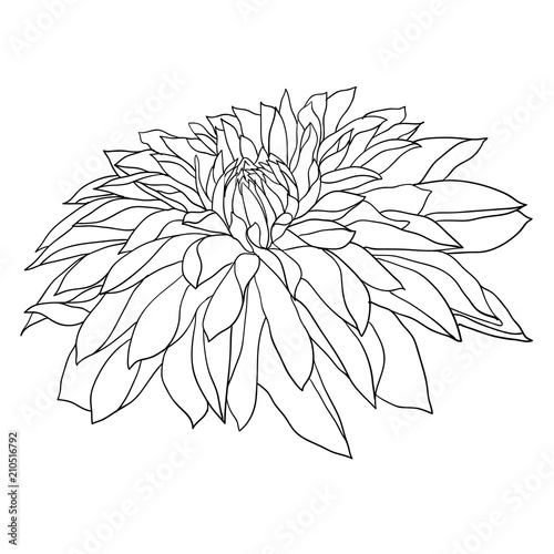 Vászonkép Beautiful monochrome sketch, black and white dahlia flower isolated