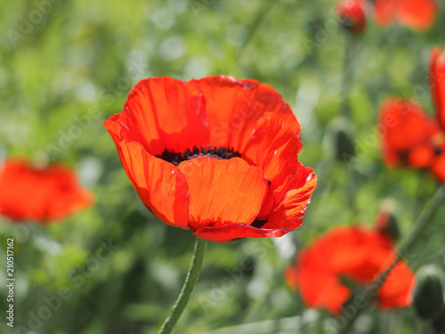 Photo  Beautiful red poppy flower on green natural background