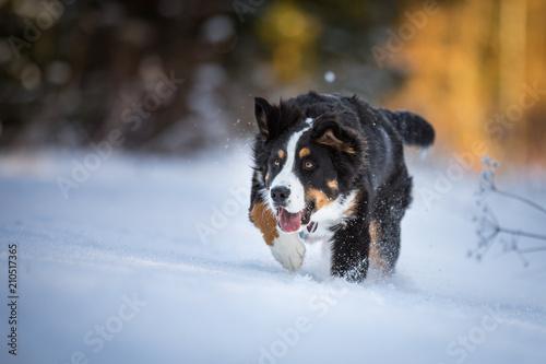 Fotografia Voller Einsatz beim Berner Sennenhund