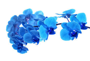 Naklejka na ściany i meble beautiful blue Orchid without background, bright blue Orchid flowers on a white background.