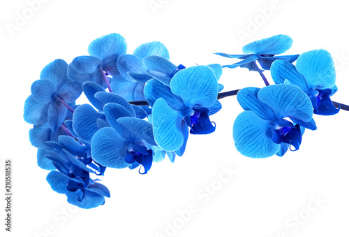 Orchidée beautiful blue Orchid without background, bright blue Orchid flowers on a white background.