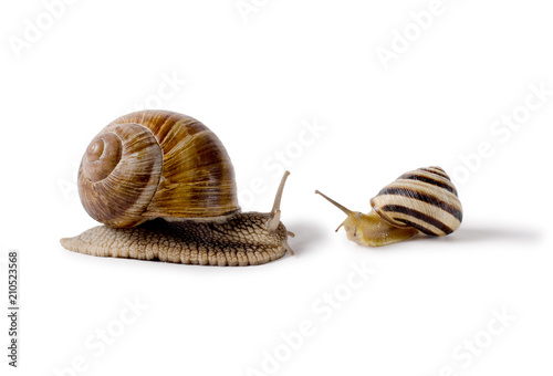 Burgundy snail, and small Snail, Helix pomatia, edible mollusk. Snails isolated against white Background.