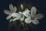small white flowers in a dark forest macro - 210523988