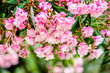 Pink rhododendrons in Montenegro bloom in the city Park