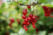 Rote Johannisbeeren Am Strauch - Ribes Rubrum