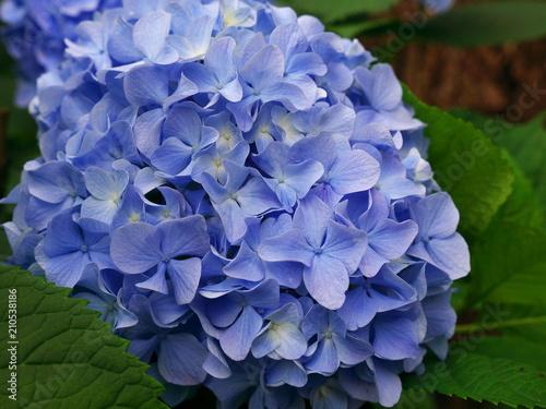 Foto op Canvas Hydrangea hydrangea flowers in japan