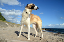 Young Male Borzoi Stands At A Beach, Seen From A Rather Low Angle.