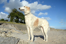 Elder Female Borzoi Stands At A Beach, Seen From A Rather Low Angle.