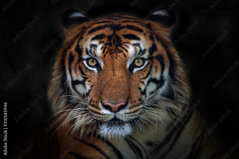 Fototapeta Angry tiger,Sumatran tiger (Panthera tigris sumatrae) beautiful animal and his portrait