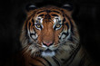 Angry tiger,Sumatran tiger (Panthera tigris sumatrae) beautiful animal and his portrait